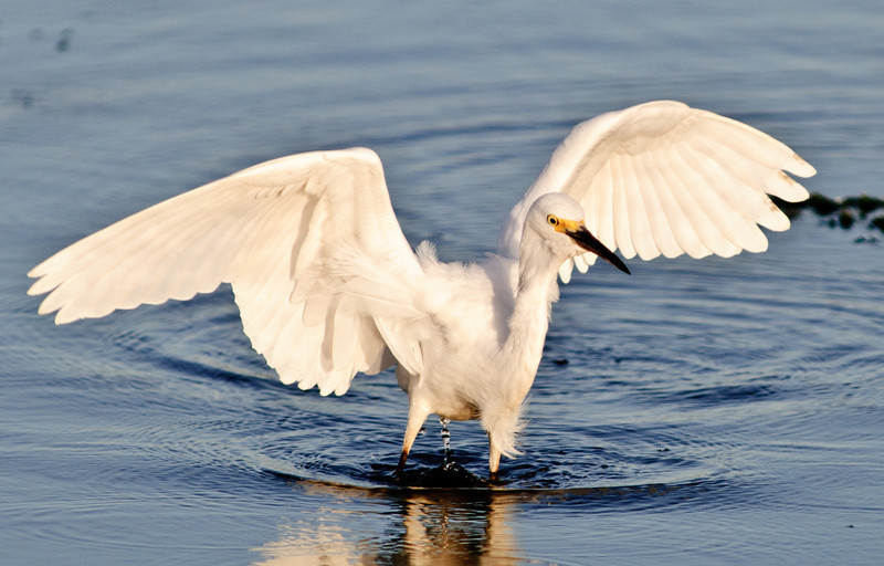 Snowy Egret - Ready for take off