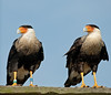 Pair of Crested Caracara - Looking right