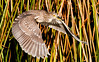 Juvenile Black-Crowned Night Heron in flight