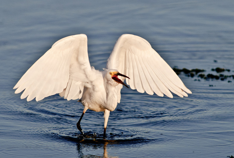 Snowy Egret - Not very happy