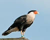 Crested Caracara - I have been tagged