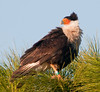 Crested Caracara hanging out in the same tree as it did a couple years ago.