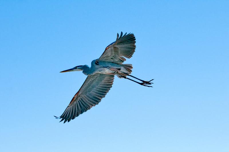 A Grest Blue Egret in Flight