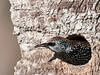 European Starling - Just checking to see who is out there.