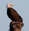 Bald Eagle - I can see you back there