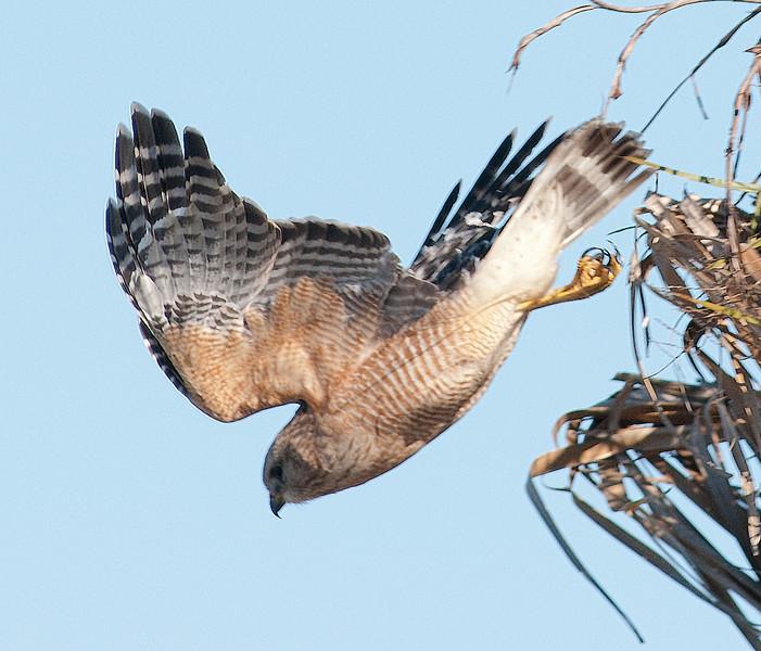Red-shouldered Hawk just taking off