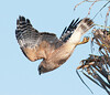 Red-shouldered Hawk just taking off