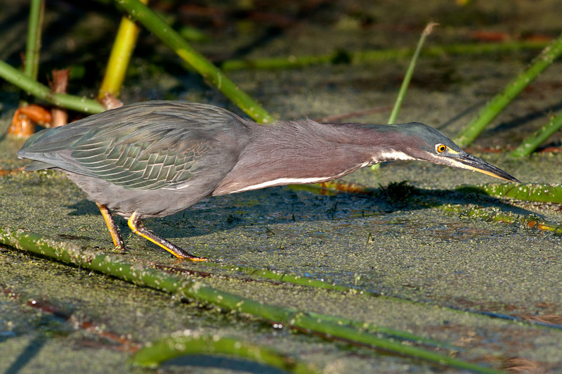 Green Heron - See how long I can stretch my neck