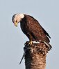 Bald Eagle - Who is down there?