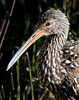 Limpkin close-up