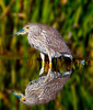 Black-Crowned Night Heron with its reflection