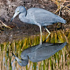 Little Blue Heron with its reflection
