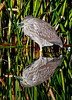 • Black-Crowned Night Heron with its reflection<br /> • Just resting my eyes