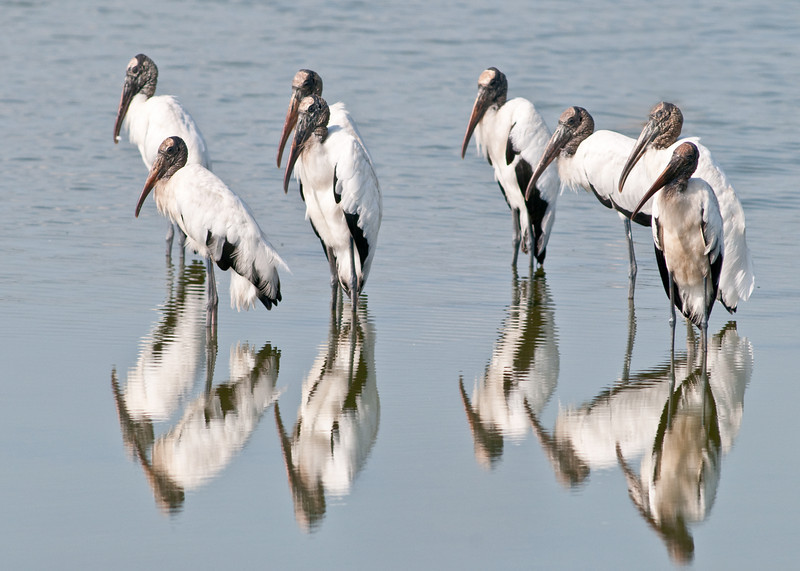 Dan's Click Ponds - Wood Storks with their reflections