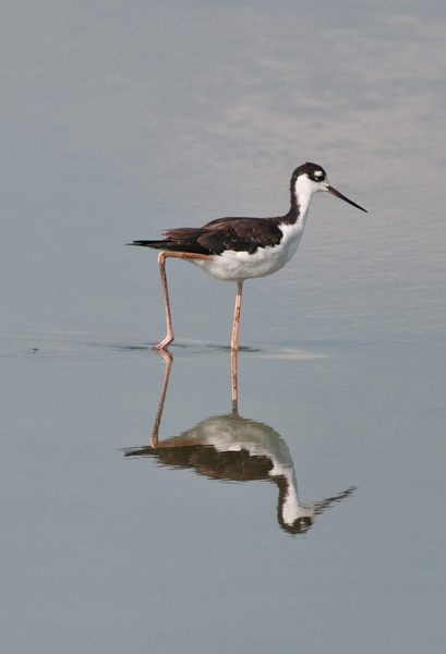 Dan's Click Pond - Black-necked Stilt with its reflection