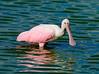 Dan's Click Ponds - Juvenile Roseate Spoonbill