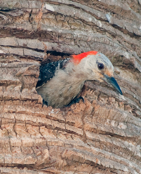 Viera Wetlands - Red-bellied Woodpecker -  Who is out there?