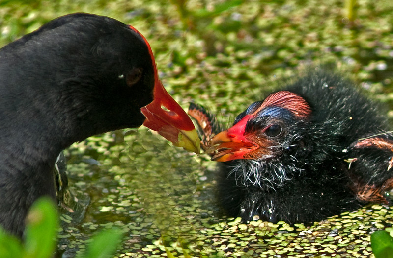 Common Moorhen baby taking some food from its parent