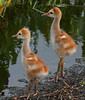 Sandhill Crane babies - Aren't they so cute!