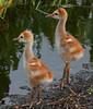 Sandhill Crane babies - Aren't they so cute!