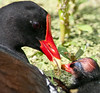 Common Moorhen baby wanting something to eat