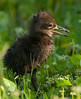 Limpkin Baby