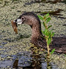 Pied-billed Grebe with its catch