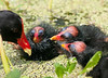 Common Moorhen babies wanting something to eat