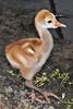 Sandhill Crane babies - Aren't I cute!