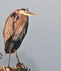 Great Blue Heron taken in the morning sun