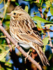 Savannah Sparrow trying to hide from me