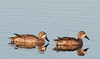 A couple of male Blue-winged Teal Duck
