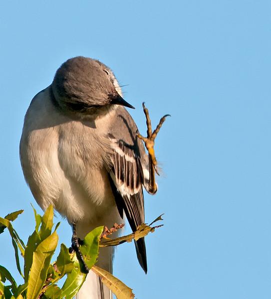 Northern Mockingbird doing a high four