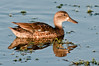 Female Blue-winged Teal Duck