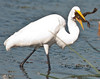 Great Egret with its frog.