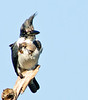 Female Belted Kingfisher - Bad hair day