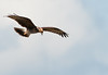 The Juvenile Snail Kite in flight