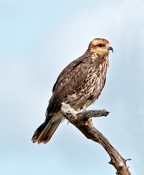 Nice portrait of a juvenile Snail Kite.  This was the first time I was able to photograph a Snail Kite at the Viera Wetlands.