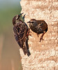 A couple of European Starling that took over the Red-bellied Woodpecker nesting area