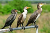 How about this threesome.  The first 2 are Double Crested Cormorants and the last one is a Great Cormorant.  The Great Cormorants are rarely seen in this area.