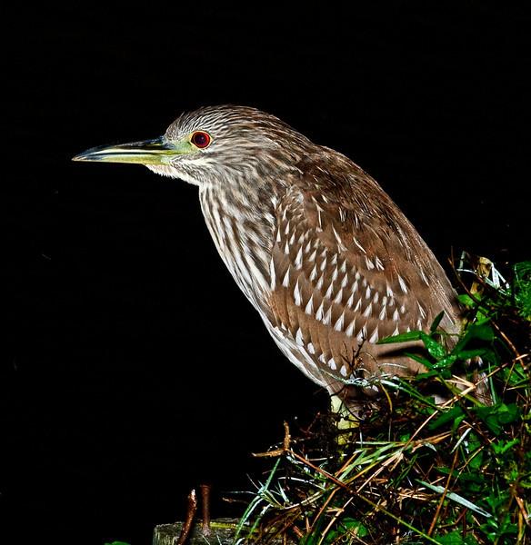 Juvenile Black-crowned Night Heron at the Click Pond