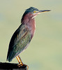 Green Heron thinking about something