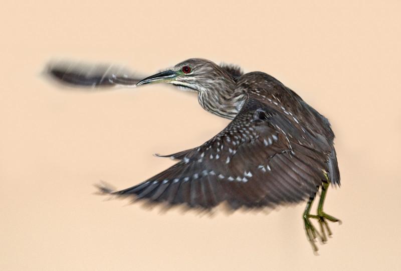 Juvenile Black-crowned Night Heron in flight