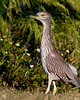 Juvenile Black-crowned Night Heron with its stretch out