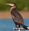 Juvenile Great Cormorant