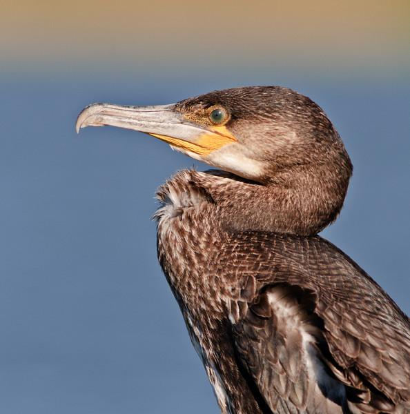 Juvenile Great Cormorant Close-up