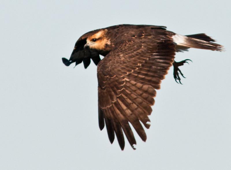 Juvenile Snail Kite in flight
