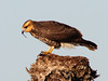 Juvenile Snail Kite eating a snail