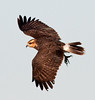 Juvenile Snail Kite in flight