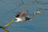 Tricolored Heron taking off
